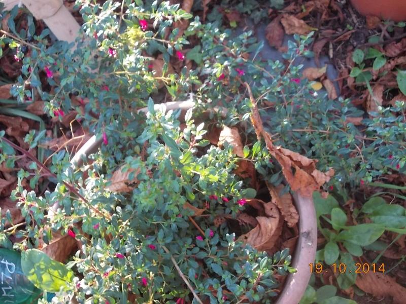 Fuchsia microphylla  Dscn3320