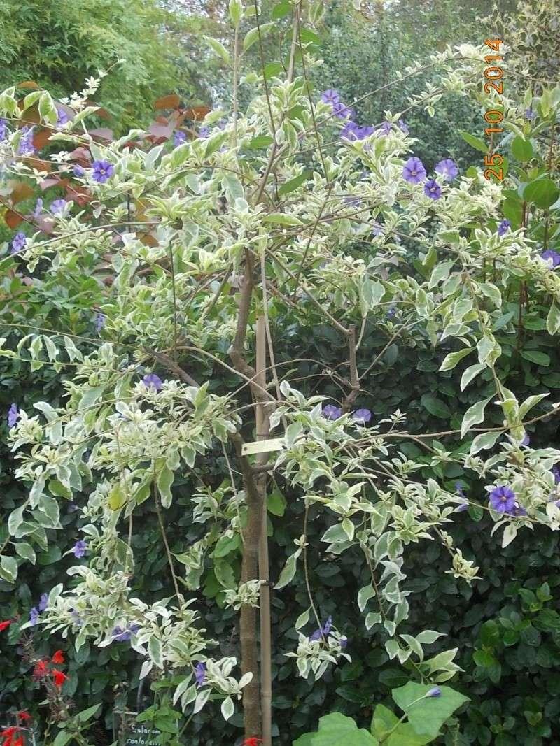 Solanum rantonetti - Page 4 Dscn3510