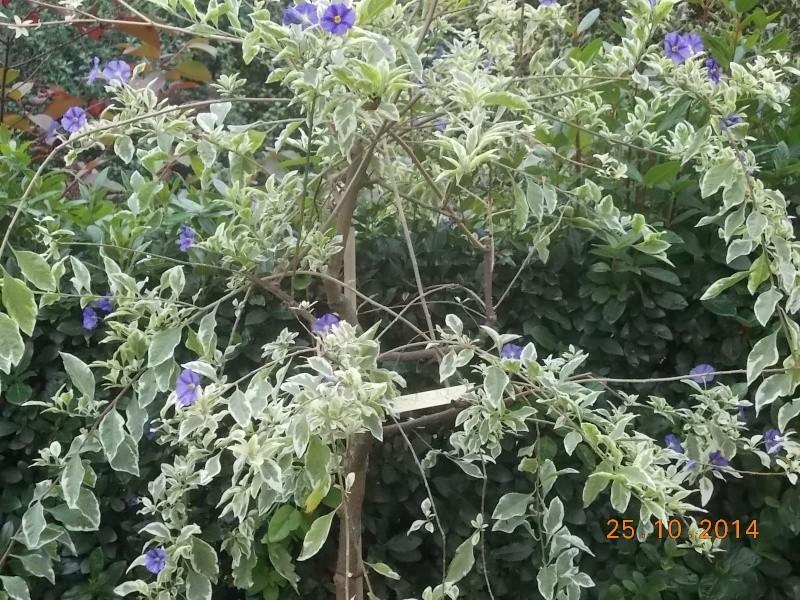 Solanum rantonetti - Page 4 Dscn3511