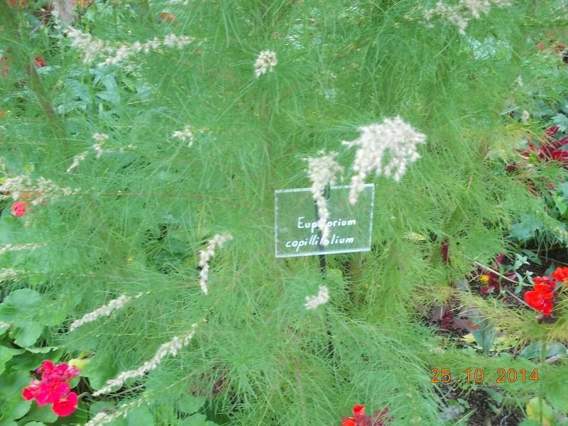 Eupatorium capillifolium Dscn3513