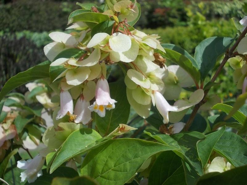 Dipelta Yunnanensis  Parc_d15