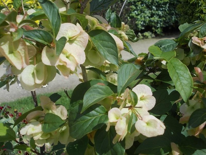 Dipelta Yunnanensis  Parc_d16