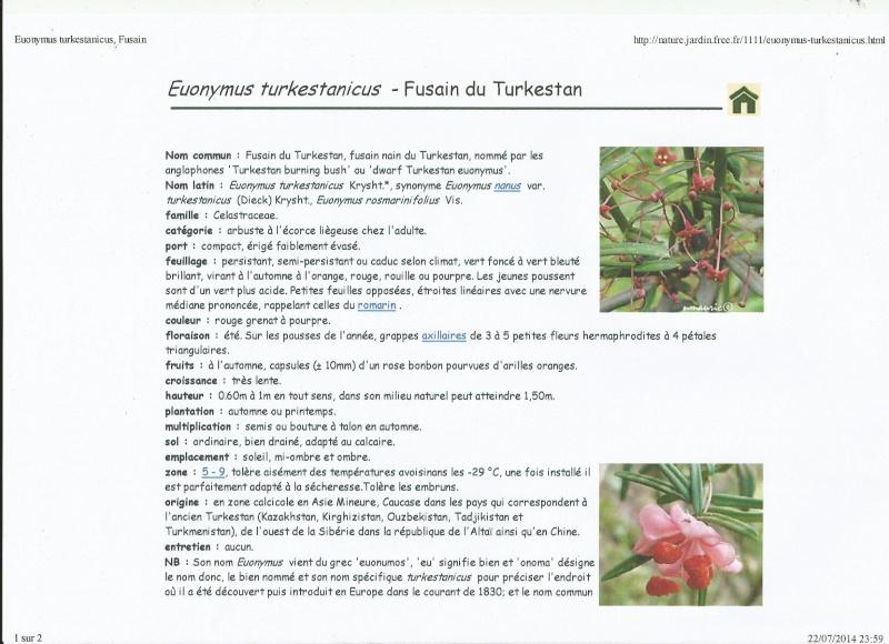 euonymus nanus turkestanicus Vally10