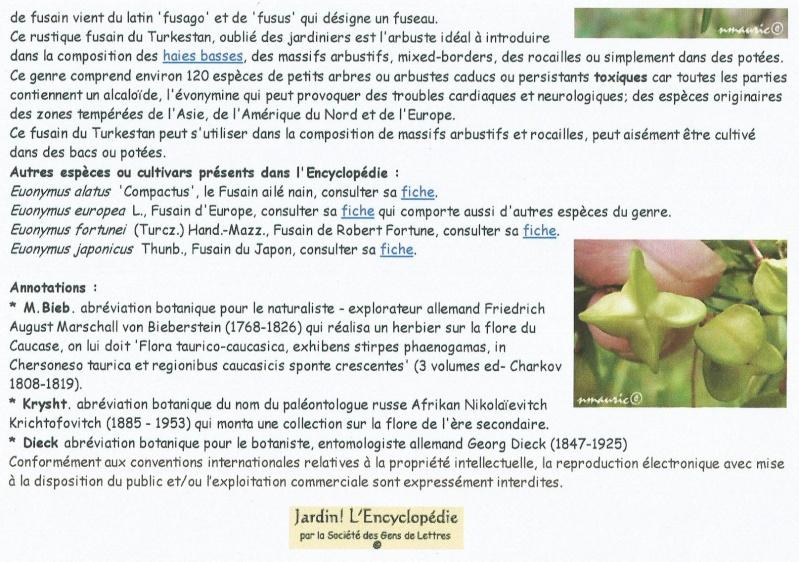 euonymus nanus turkestanicus Vally_10