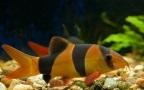 Aquariofilia --- Mundo dos Aquários Botia-10