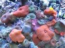 Aquariofilia --- Mundo dos Aquários Sps10