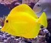 Aquariofilia --- Mundo dos Aquários Yellow12