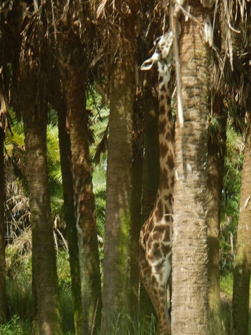 Le merveilleux voyage en Floride de Brenda et Rebecca en Juillet 2014 - Page 2 Safari18