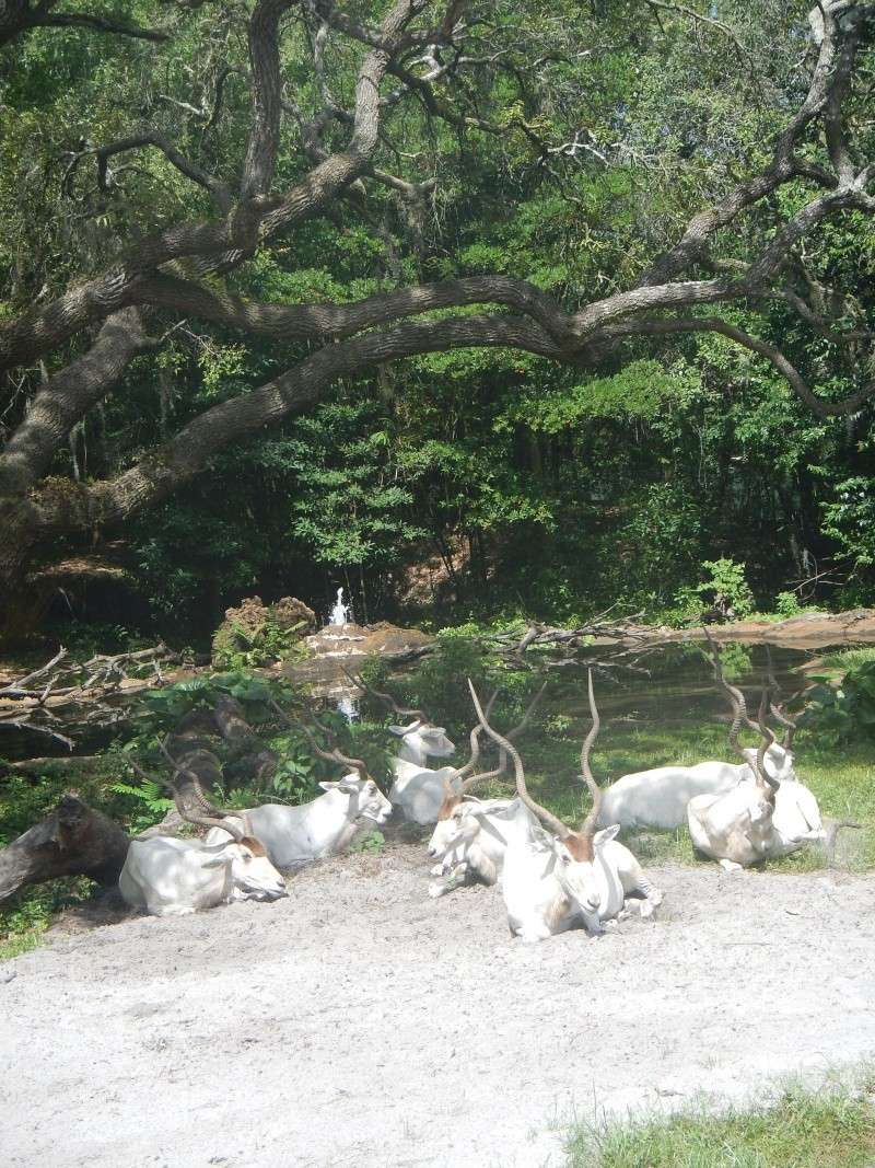 Le merveilleux voyage en Floride de Brenda et Rebecca en Juillet 2014 - Page 2 Safari36
