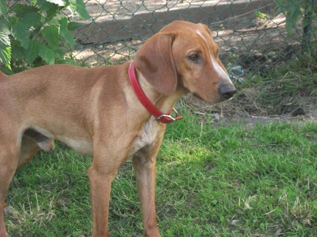 Iago - croisé pinsher /basset hound fauve et blanc né le 26.06.2013 ( adopté dans le 80) Dscf4617