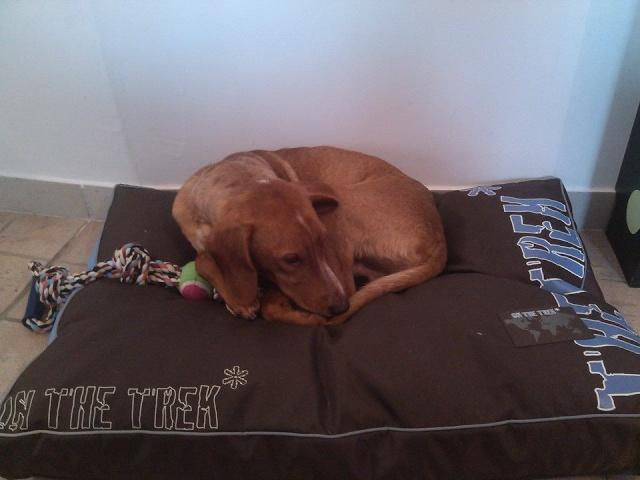 Iago - croisé pinsher /basset hound fauve et blanc né le 26.06.2013 ( adopté dans le 80) Iago410