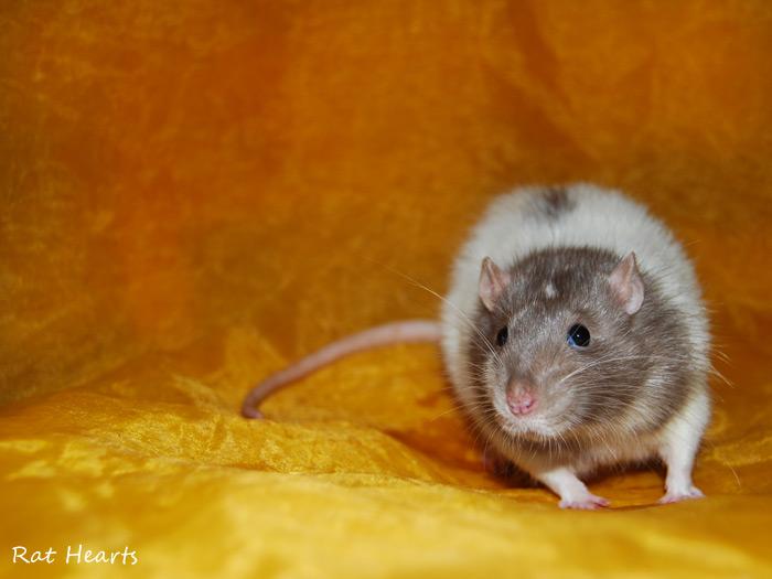 Les Rat Hearts Dire_s10