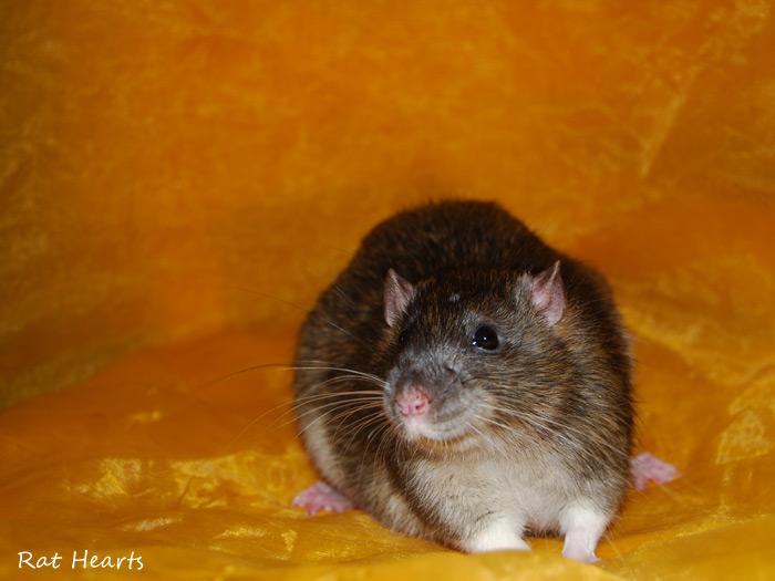 Les Rat Hearts Idefix10