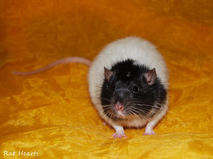 Les Rat Hearts Steven10