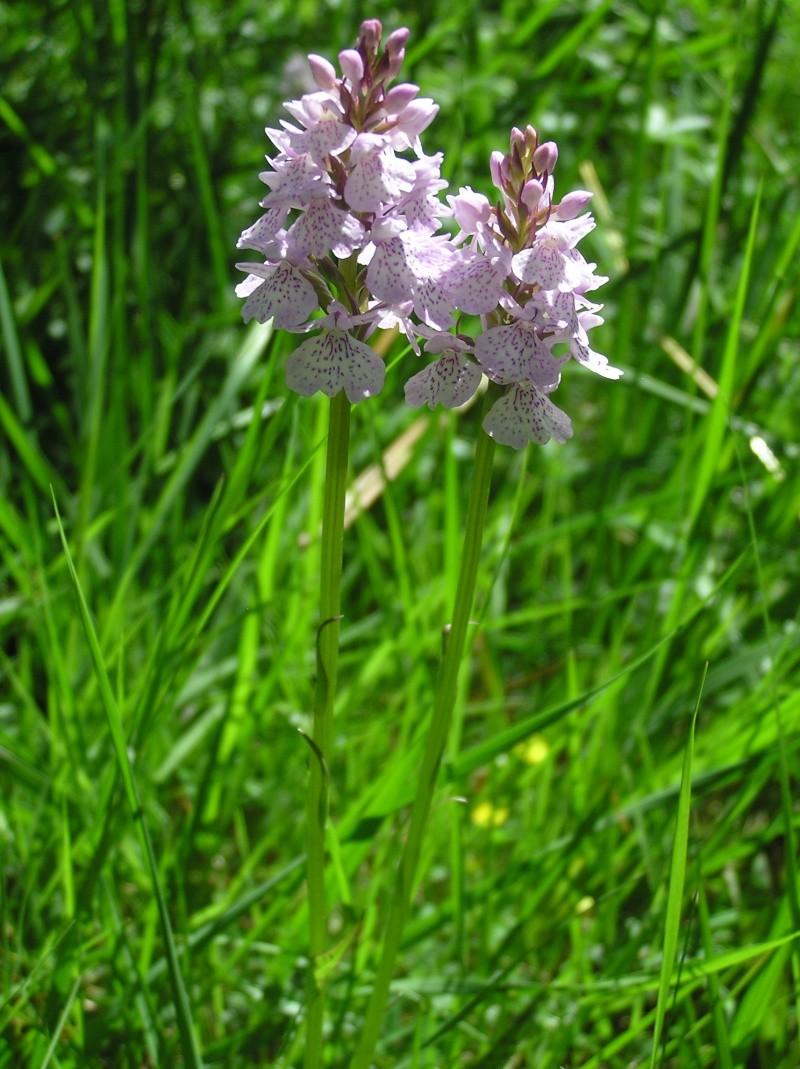 Dactylorhiza maculata ssp? A_iden23
