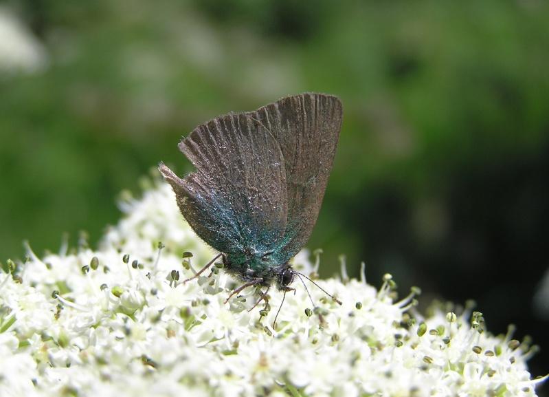 Callophrys rubi Callop10