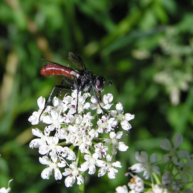 Cylindromyia bicolor Cylind10