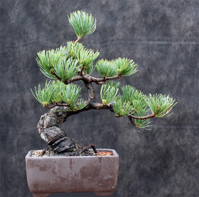 Shohin White Pine an Amazing Recovery Wp310