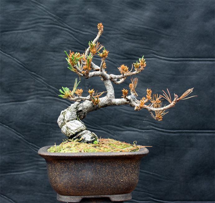 Shohin White Pine an Amazing Recovery Wp410
