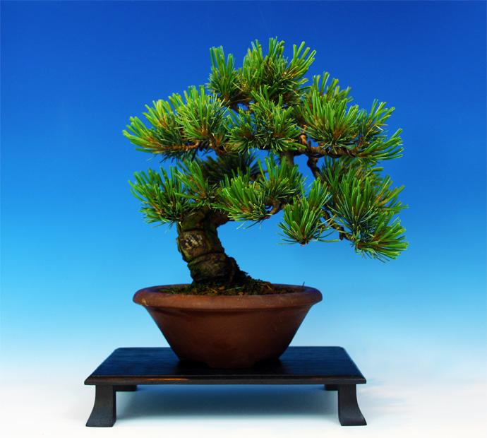 Shohin White Pine an Amazing Recovery Wp710
