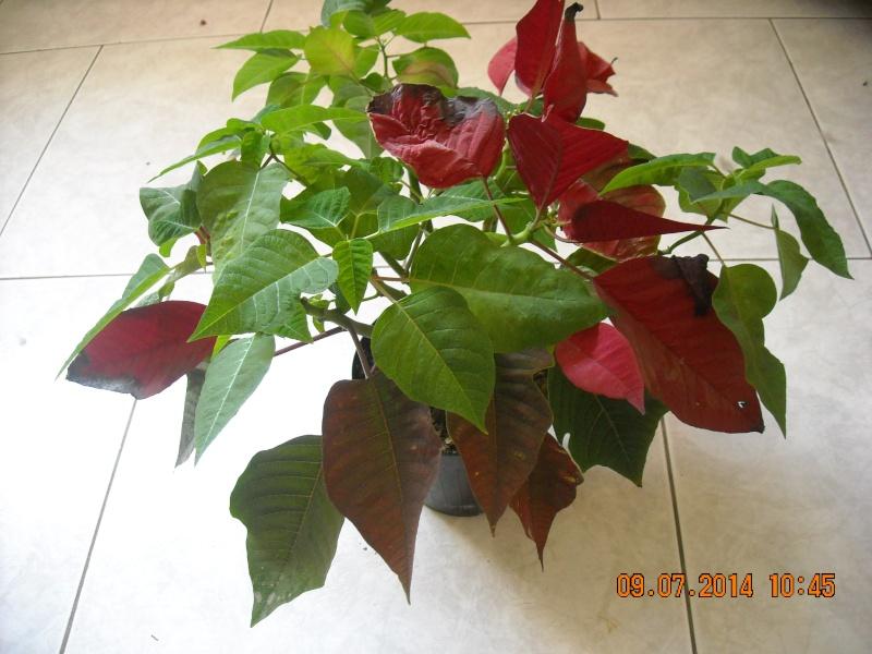 Le  Poinsettia  Dscn0014