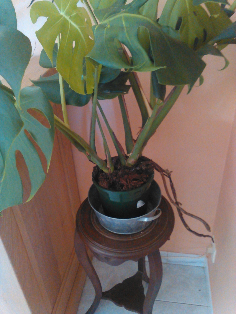 Rempotage plantes intérieurs Img_2011