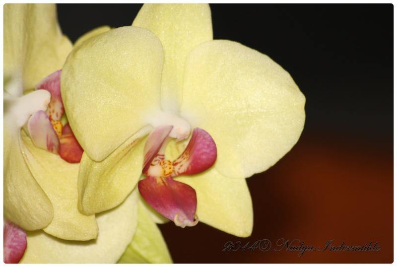 Les Orchidées - Page 3 Cadre149