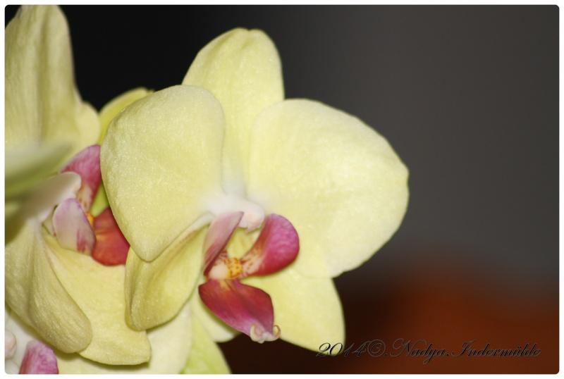 Les Orchidées - Page 3 Cadre150