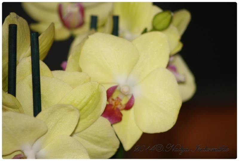 Les Orchidées - Page 3 Cadre151