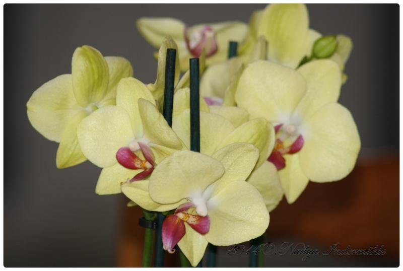 Les Orchidées - Page 3 Cadre152