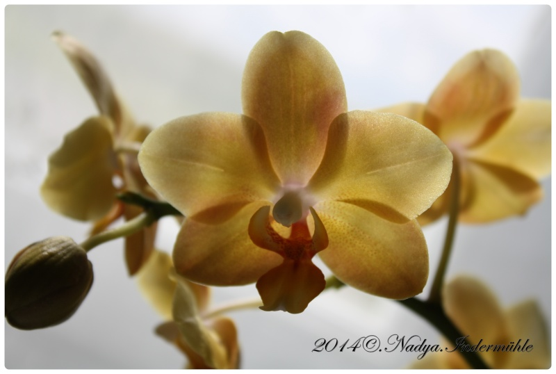 Les Orchidées - Page 3 Cadre155