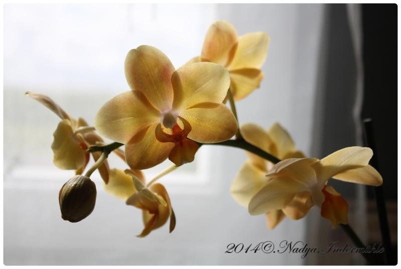 Les Orchidées - Page 3 Cadre156