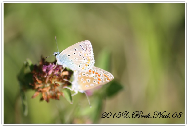 papillon lycenes bleus (polyommatus spp Cadre362