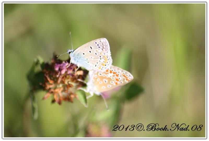 papillon lycenes bleus (polyommatus spp Cadre363