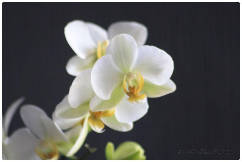 Les Orchidées - Page 5 Cadrer10