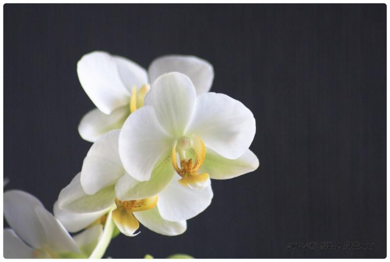 Les Orchidées - Page 5 Cadrer11