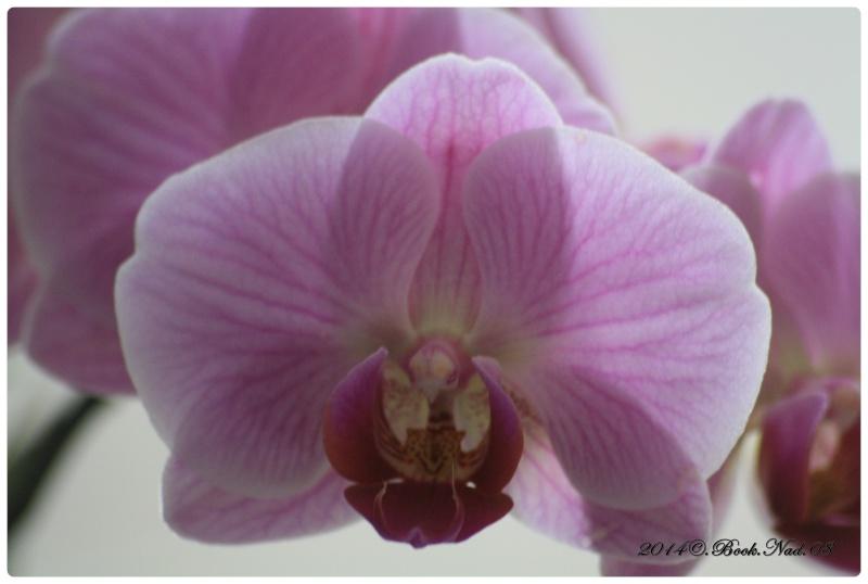 Les Orchidées - Page 4 Cadrer19