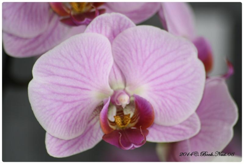 Les Orchidées - Page 5 Cadrer20