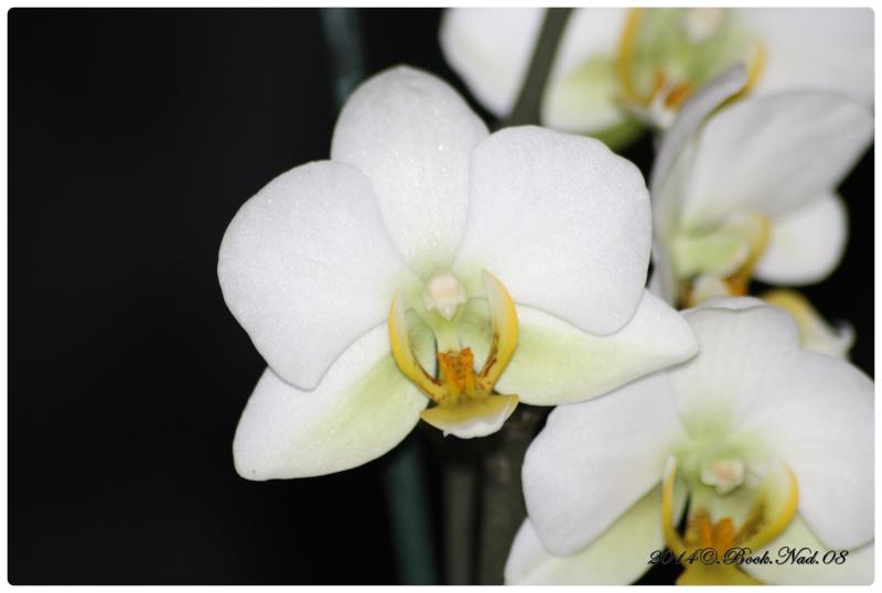 Les Orchidées - Page 5 Cadrer21