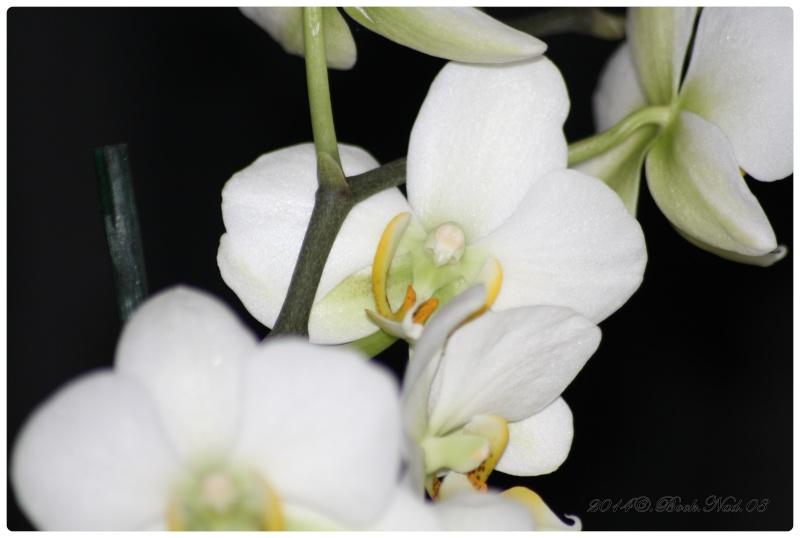 Les Orchidées - Page 3 Cadrer23