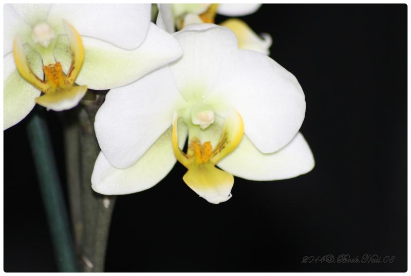 Les Orchidées - Page 3 Cadrer24