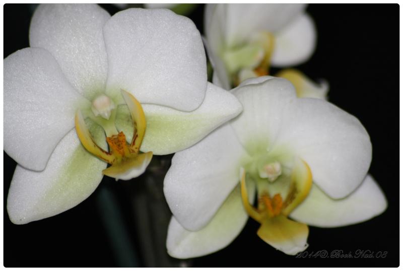 Les Orchidées - Page 3 Cadrer25
