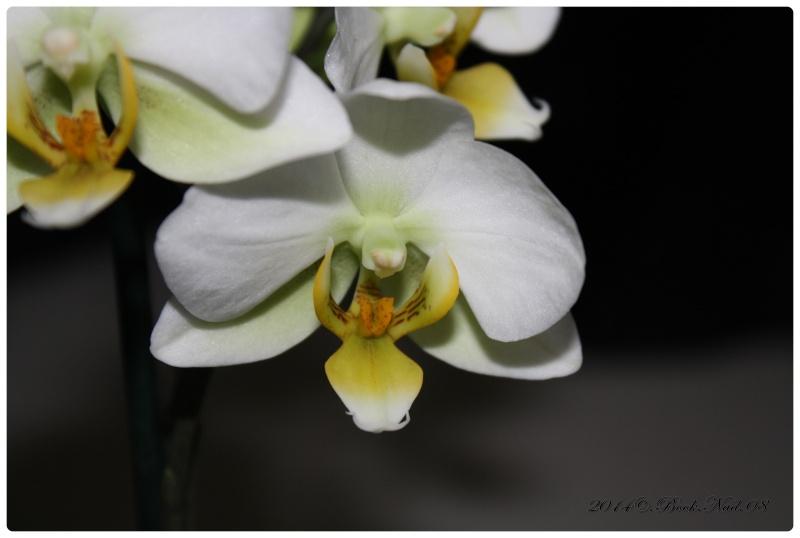 Les Orchidées - Page 3 Cadrer26