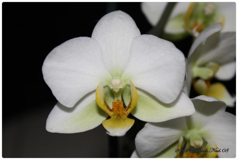 Les Orchidées - Page 4 Cadrer28