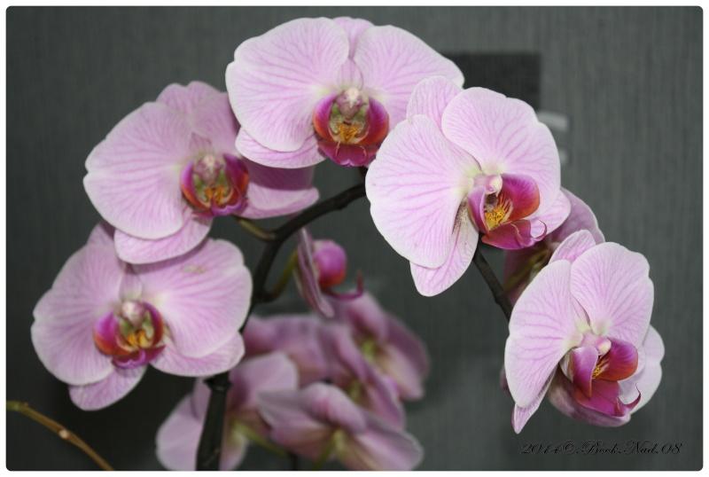 Les Orchidées - Page 3 Cadrer30