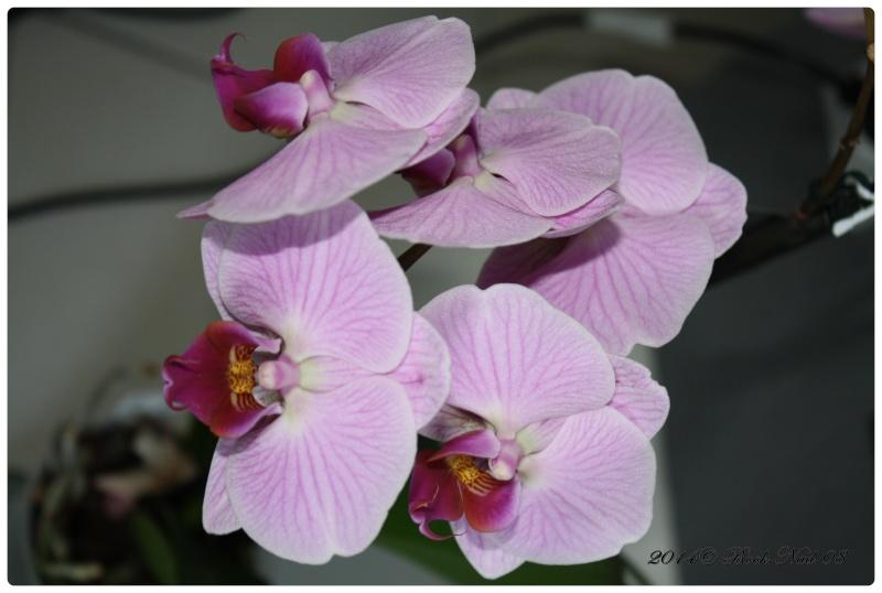 Les Orchidées - Page 3 Cadrer32