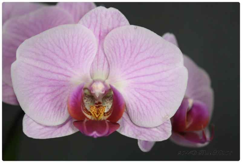 Les Orchidées - Page 3 Cadrer33
