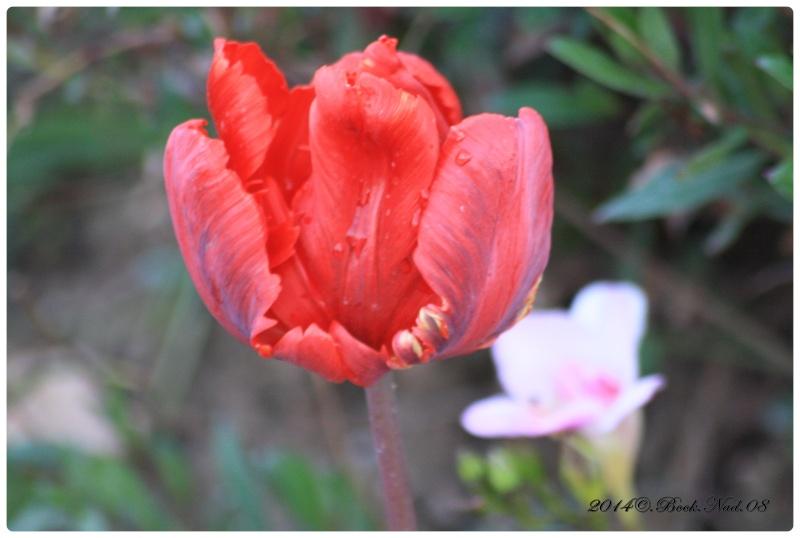 Les tulipes - Page 2 Cadrer35