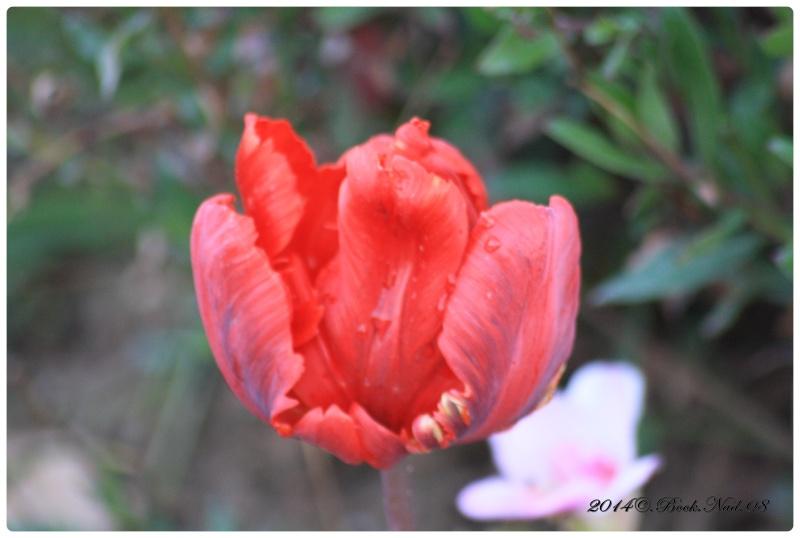 Les tulipes - Page 2 Cadrer36
