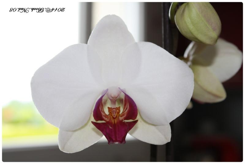 Les Orchidées - Page 4 Cadrer40